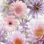 chinese-asters